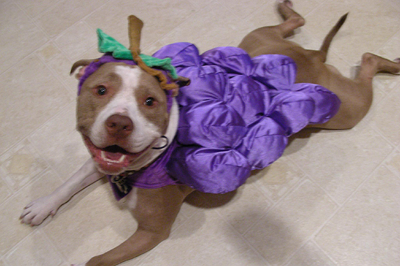 Image result for pit bulls halloween costumes
