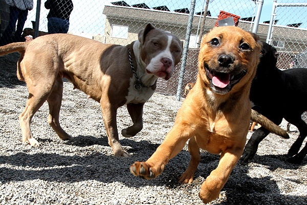 Rhodesian Ridgeback Boxer Pitbull Mix Images & Pictures - Becuo