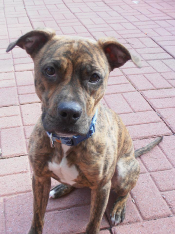 Full Grown Pitbull Boxer Mix What question do people ask about your ...