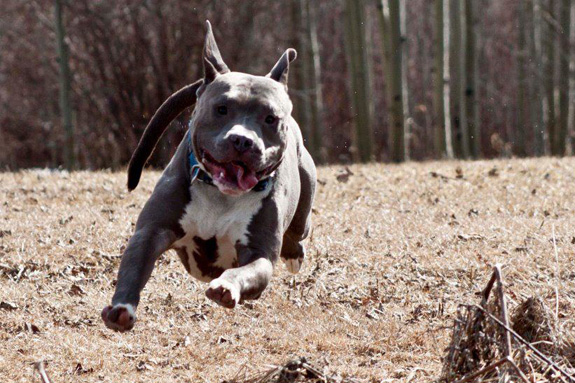 arguments on why pitbulls should be Reasons why pitbulls should not be banned search results.