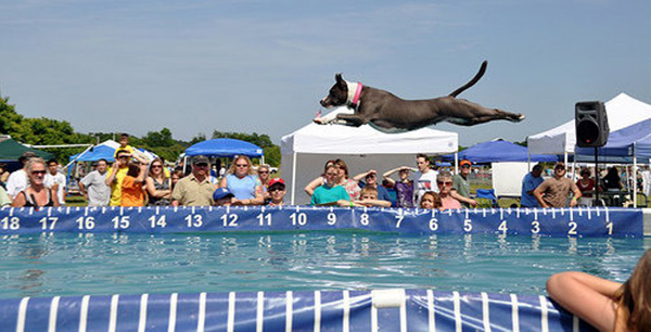 Raja The Dock Diving Pit Bull Stubbydog