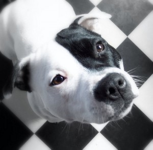 black and white pit bull public domane