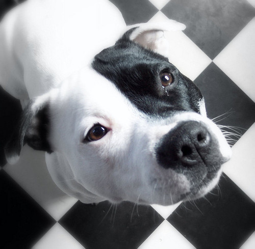 Show the World your Pit Bull is Family! : StubbyDog